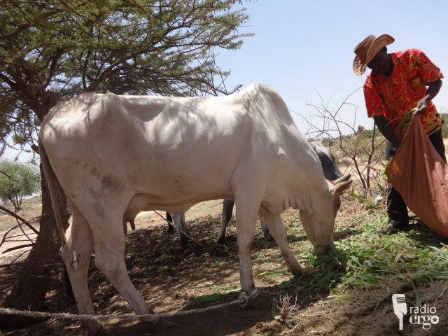 New grass offers hope for livestock herders in Somaliland