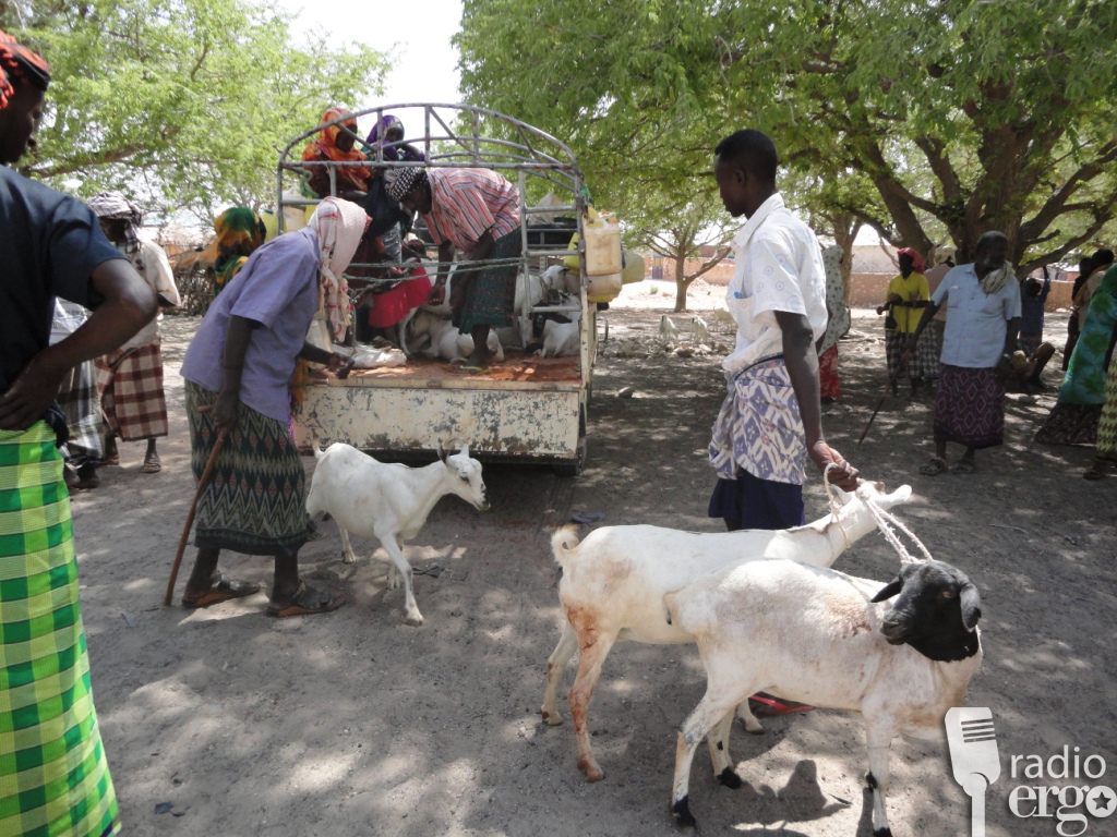 Gift of goats from diaspora community gives new hope to Mudug herders